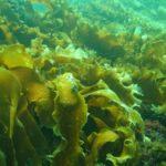 Что полезного в морской капусте?