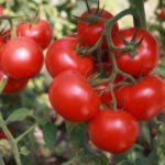 Полезные свойства ярко-красных помидор